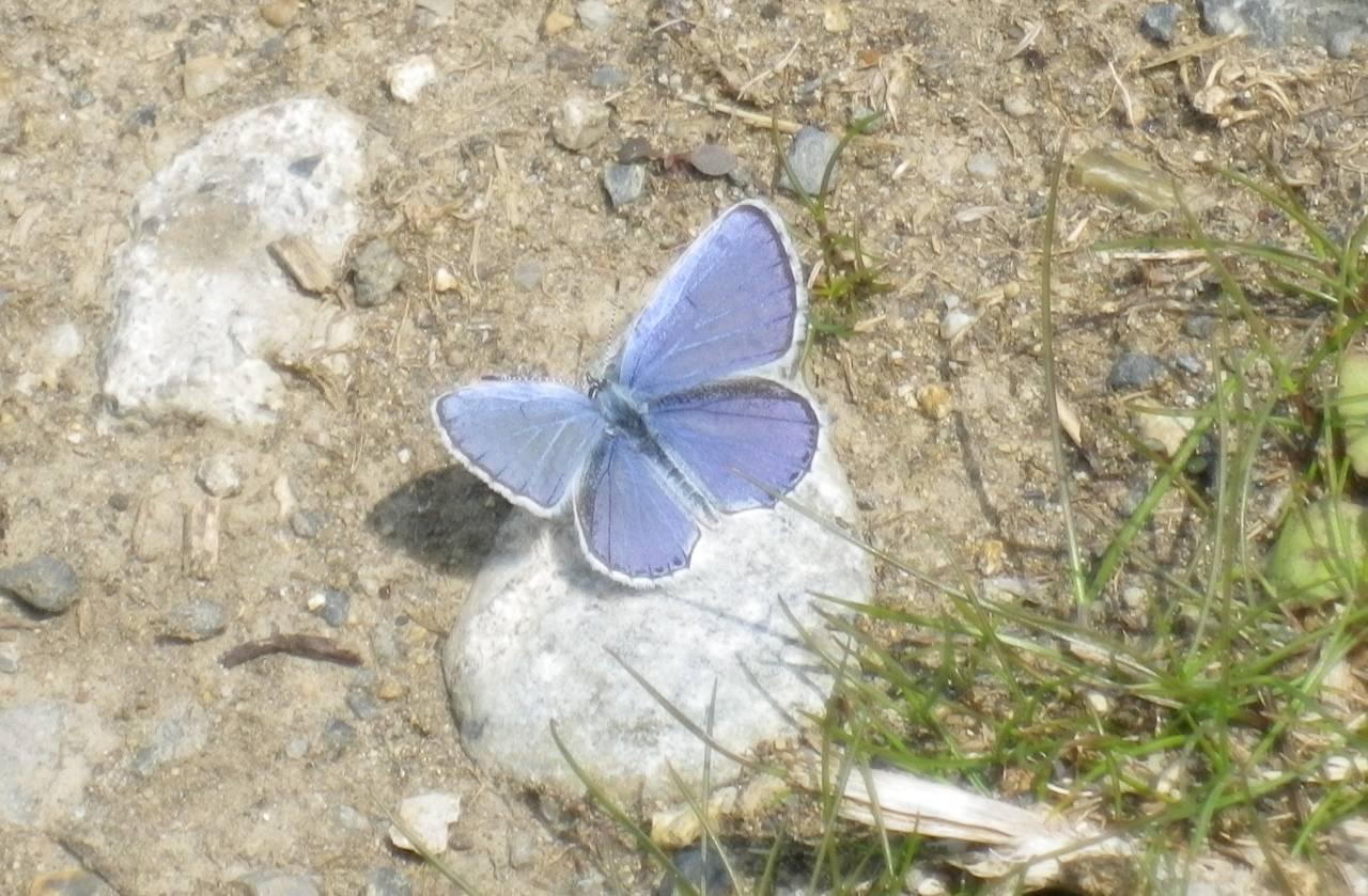 Fujioka blue butterfly.