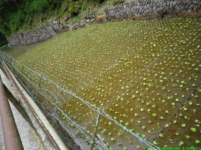 Juvenile Wasabi plants.