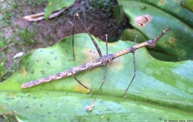 Peru2015_072_stick_insect
