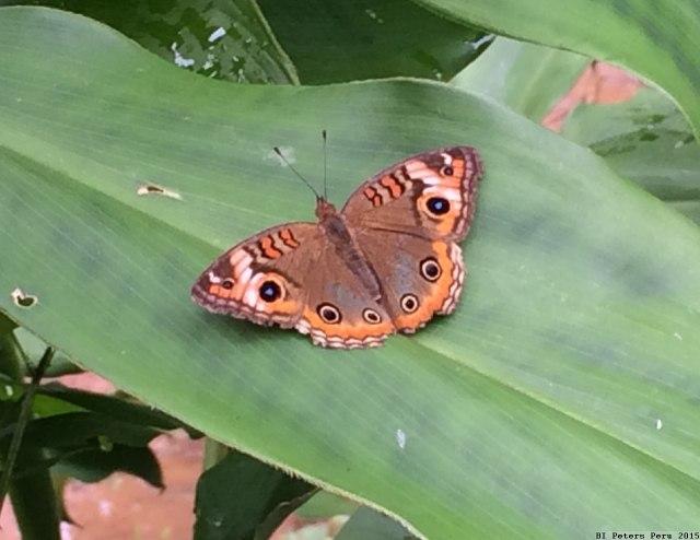 Peru2015_076_butterfly