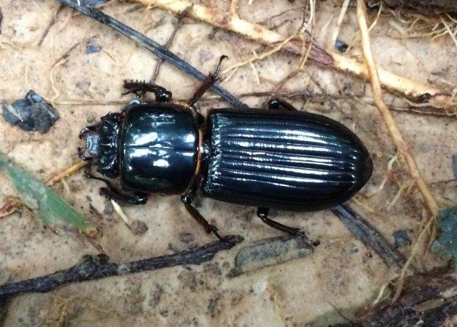 TRC_beetle1