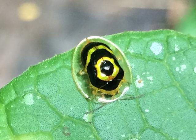 amazon-Inotawa-shielded-insect(closeup)