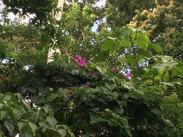amazon-Inotawa-vines