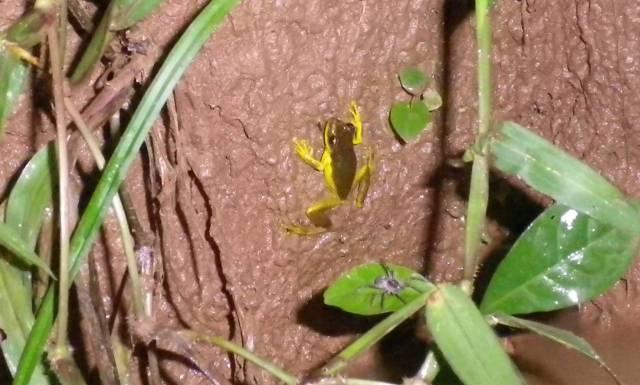 Inotawa-frog2013-1