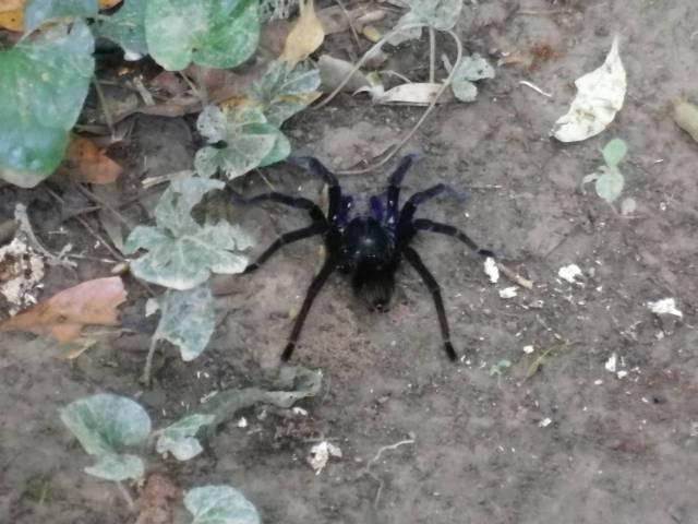 Inotawa-spider2013-2