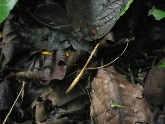 Inotawa-stick-insect2013-1
