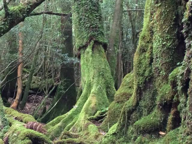 Moss covered cedar trees