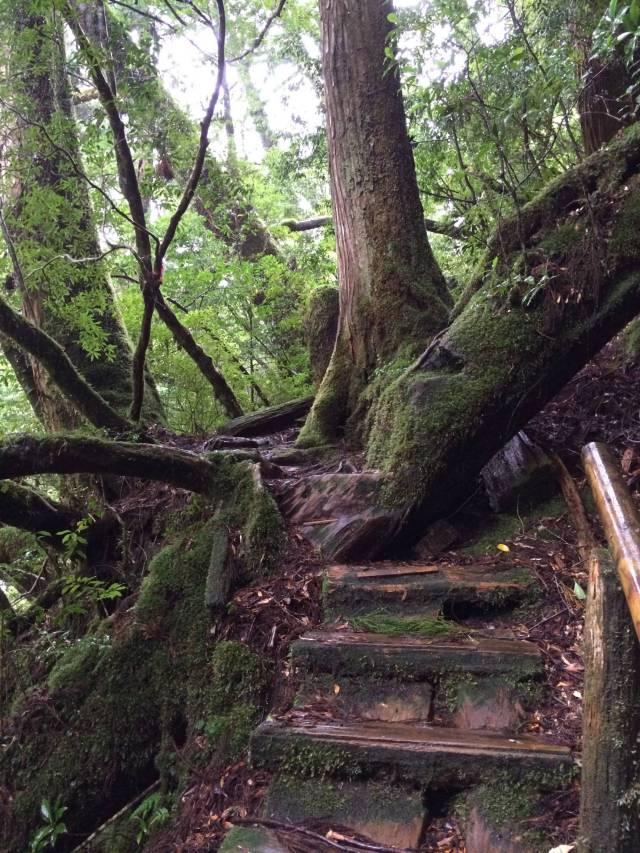 japan16-yakusugiland-cedar-steps16