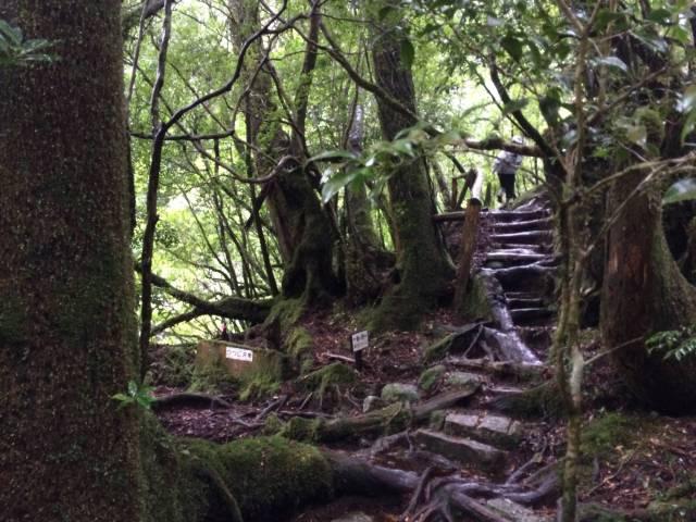 japan16-yakusugiland-cedar-steps23