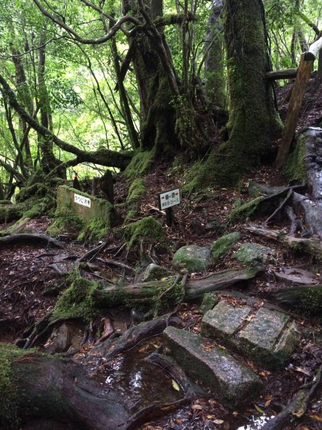japan16-yakusugiland-cedar-steps24