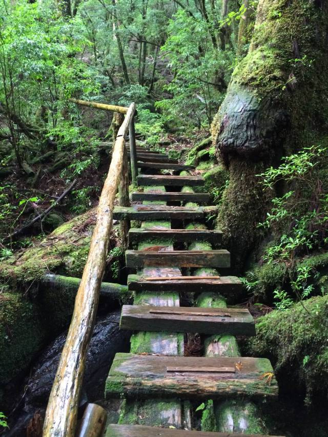 japan16-yakusugiland-cedar-steps37