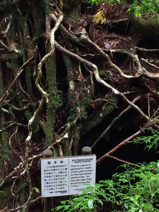 japan16-yakusugiland-80