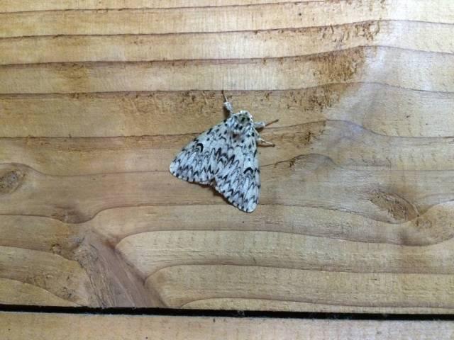 japan16-yakusugiland-mothra