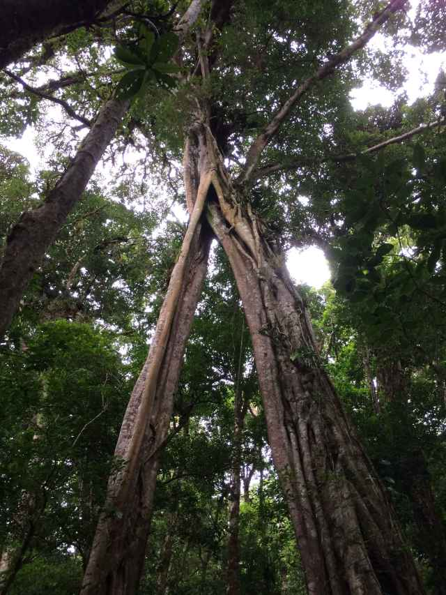 Matapalo tree (strangler fig) at Monteverde National Park, Costa Rica.